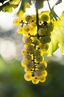 White grape bunch on the vine