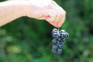 Wild Grapes photo
