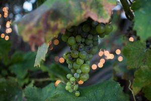grapes photo