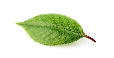 Cherry leaf isolated. photo