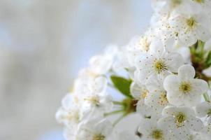 closeup of delicate cherry tree flowers
