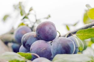purple plums on a tree photo