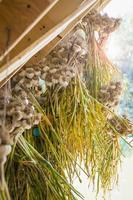 Bunch of fresh garlic bulbs hanging to dry, Frelighsburg, Quebec. photo