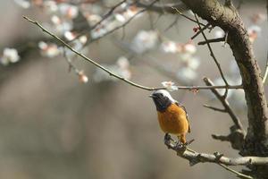 Redstart daurian sur la branche de prunier