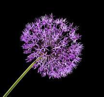 flor de ajo violeta foto
