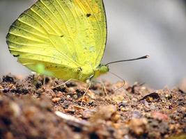 mariposa amarilla en roca foto