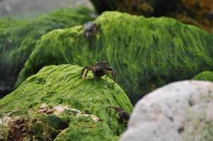 Crab on Seaweed Rocks
