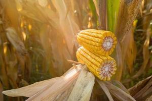 Ripe maize corn on the cob photo