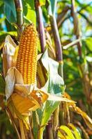 Vista cercana de la mazorca de maíz