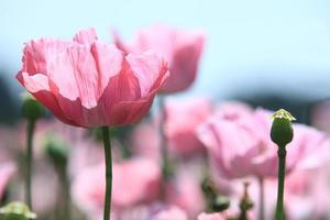Mohnblüte photo