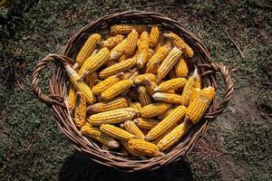 Basket full of corn cobs