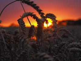 pôr do sol de milho