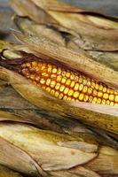 Grains of ripe dry corn close up photo