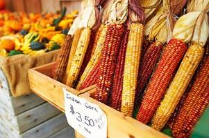 Bunches of indian corn