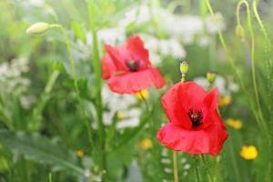 Red poppy flower