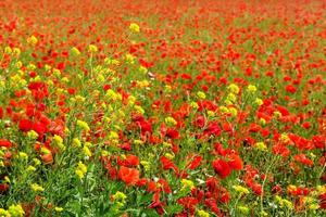 Corn Poppy Field