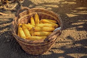 maíz cosechado en canasta de mimbre