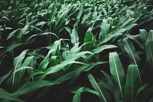 Green corn background