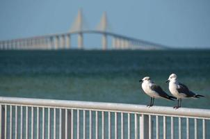 Seagulls in front of Skyway Bridge