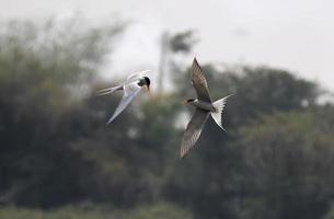 River Tern Flight photo