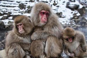 mono de nieve japonés en aguas termales.