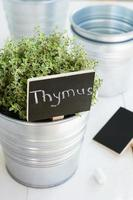Kitchen garden - growing thyme herb in a planter