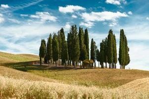 Cypress trees landscape
