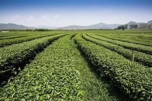 paisagem de plantação de chá