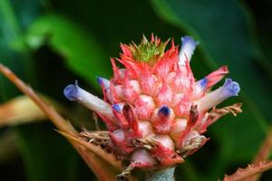Close up of pineapple flowers photo