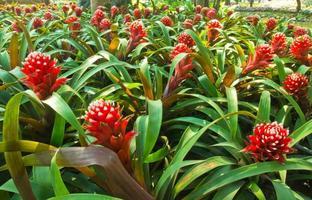Bromeliad, Ananas Comosus, Pineapple