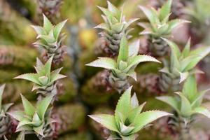 Ananas Comosus pineapple food and herb photo