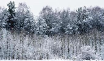 Forest in winter photo