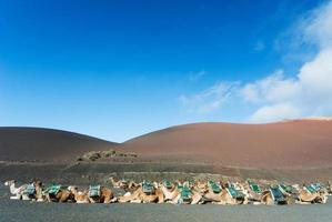 rij van kamelen in Timanfaya National Park
