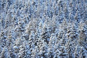 Winter coniferous forest photo