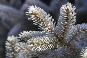 pino de invierno