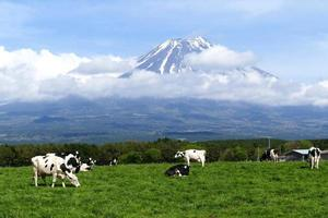 Mount Fuji and cows at Asagiri Highland in Shizuoka, Japan photo