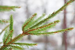 Winter pine branch.