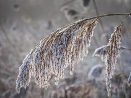 Frosty reed in winter