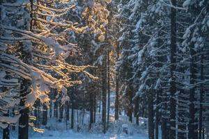 Evening forest in winter