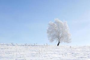 bosque de abedules en invierno