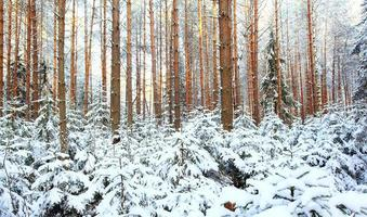 pine forest, winter, snow photo