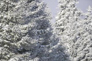 White firs in winter photo