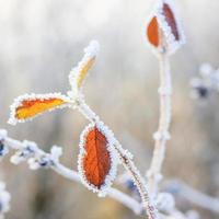 Winter background, hoarfrost on leaves photo