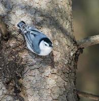 pica-pau-cinzento no inverno