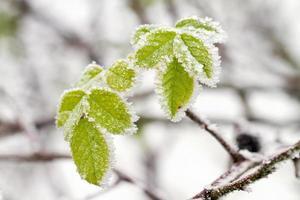 folhas de inverno gelado