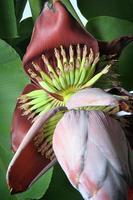 flor de plátano