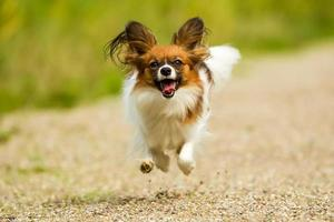Running Papillon Dog