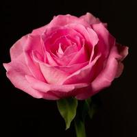 Pink rose isolated on black. Symbolic of love and compassion photo