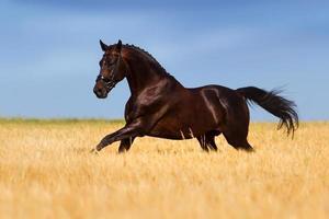 Horse run in field photo