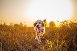 setter running in field